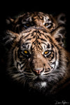 Portrait of Two Tiger Brother Cubs Limited Edition Photograph as Fine Art Print
