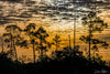 Everglades Cypress Tress Yellow Sky Photograph as Fine Art Print