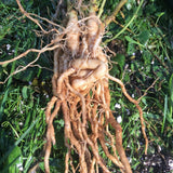 picture of ashwagandha roots fresh, whole and intertwinned