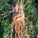 image of ashwagandha roots,fresh,  whole and intertwined