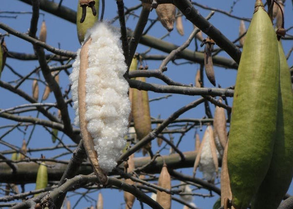 kapok fiber on tree