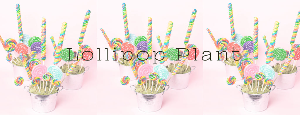 DIY - LOLLIPOP PLANT