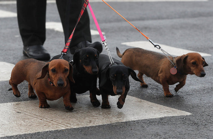 'The world needs a sausage dog museum'