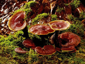 Understanding the quality of medicinal mushrooms