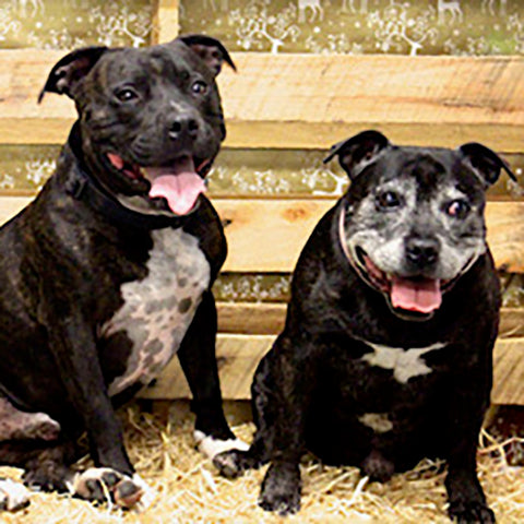 Two happy rescue staffy dogs