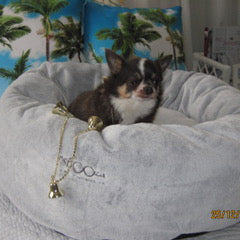 Chihuahua on raw food diet