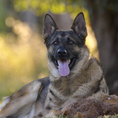 Beautiful 4yo German Shepherd, Brisbane