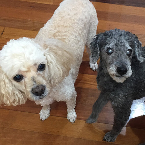 Two very loved senior poodles