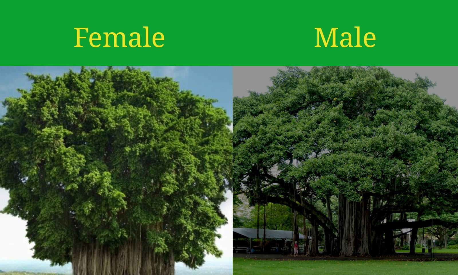 Female Banyan Tree vs Male Banyan Tree.