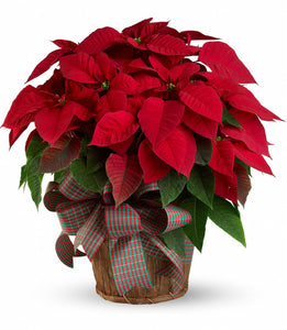 507 - Poinsettia Plant - Large