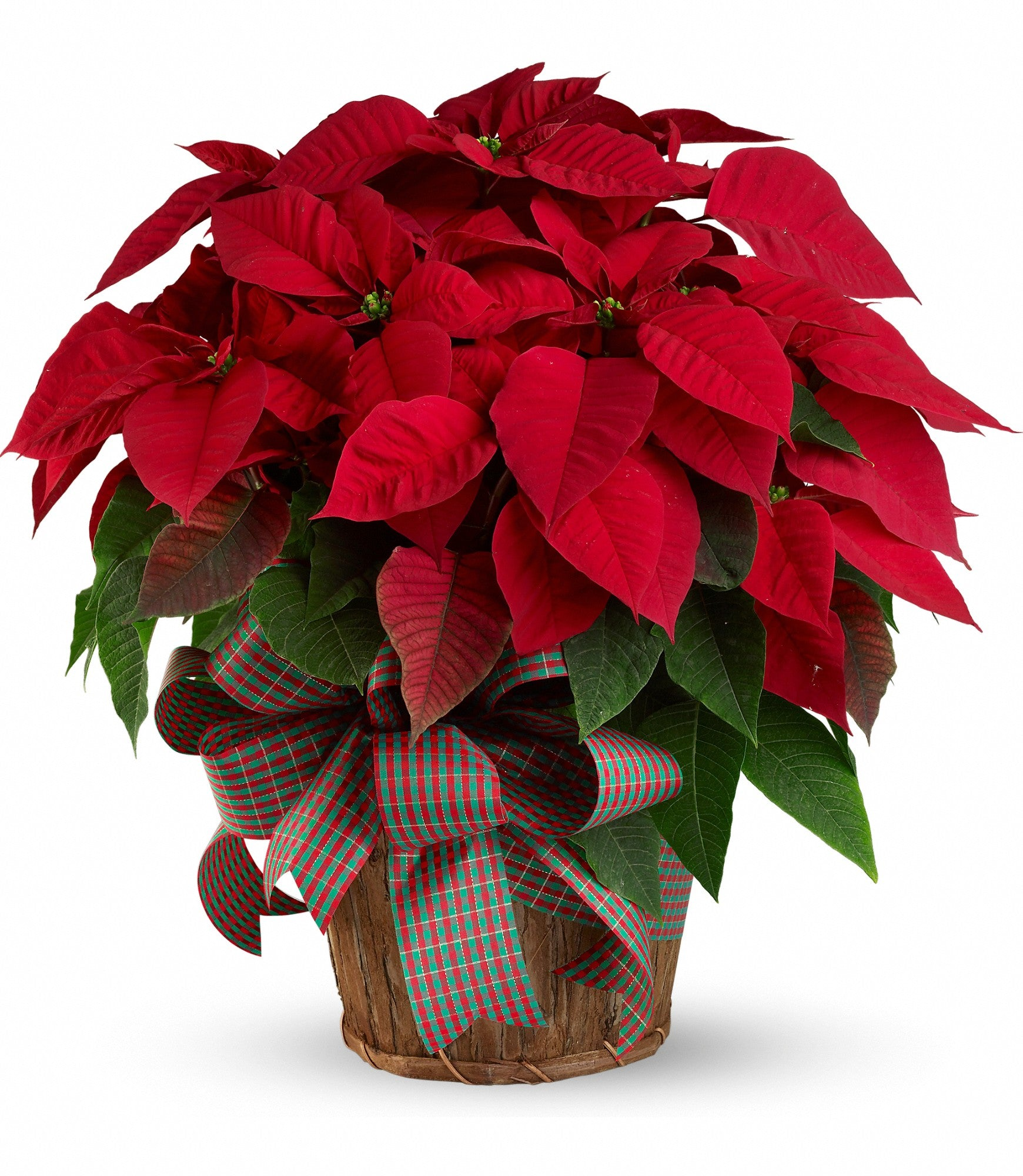 507 - Poinsettia Plant - Medium