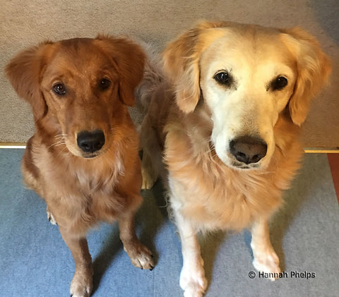 Measure and Coast Phelps, golden retrievers belonging to New Hampshire artist Hannah Phelps