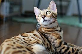 All You Require To Know About The Bengal Cat