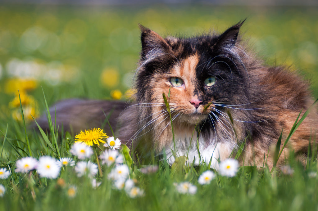 Pertinent Facts About Norwegian Forest Cat