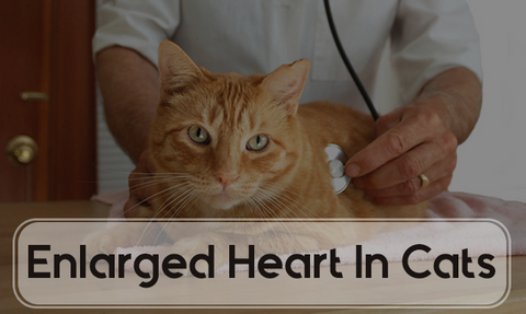 Enlarged Heart In Cats