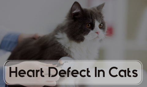 Heart Defects In Cats