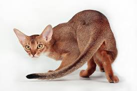 Hare Abyssinian Cats