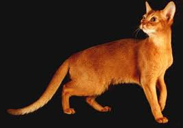 Red  Abyssinian Cat