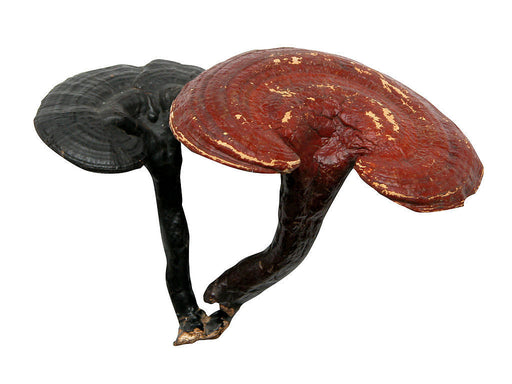 Reishi Mushrooms (Ling Zhi) from Herbal Products Direct - Herbal Products Direct