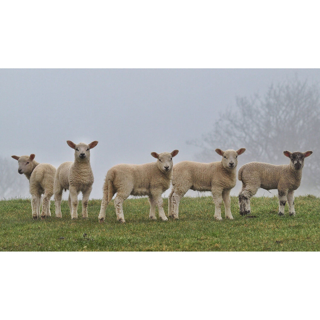Derbyshire Spring Lambs