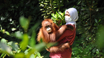 Sumatran Orangutan Conservation Programme (SOCP) and Haven, Medan, Indonesia