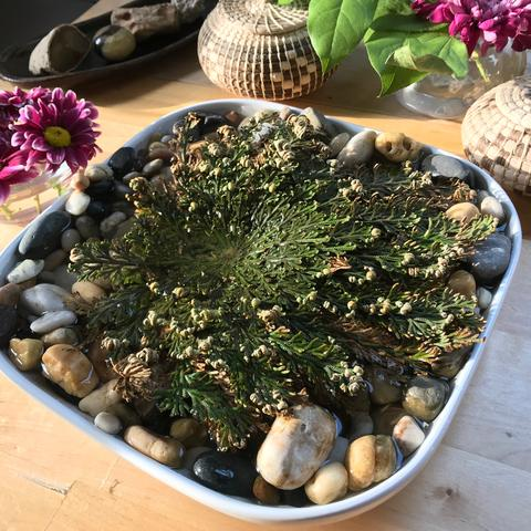 The Rose of Jericho, an abundance manifesting plant that can not die!