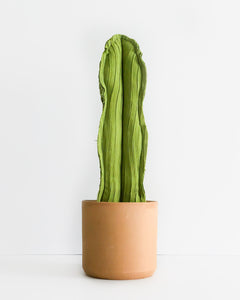 Large Wavy Column Cactus - Lime Green