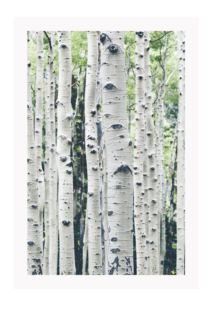 Natural Tall Trees Forest Dazzling White Birches White Bark Trees Green Leaves Print Wall Print Framed Art Poster Image