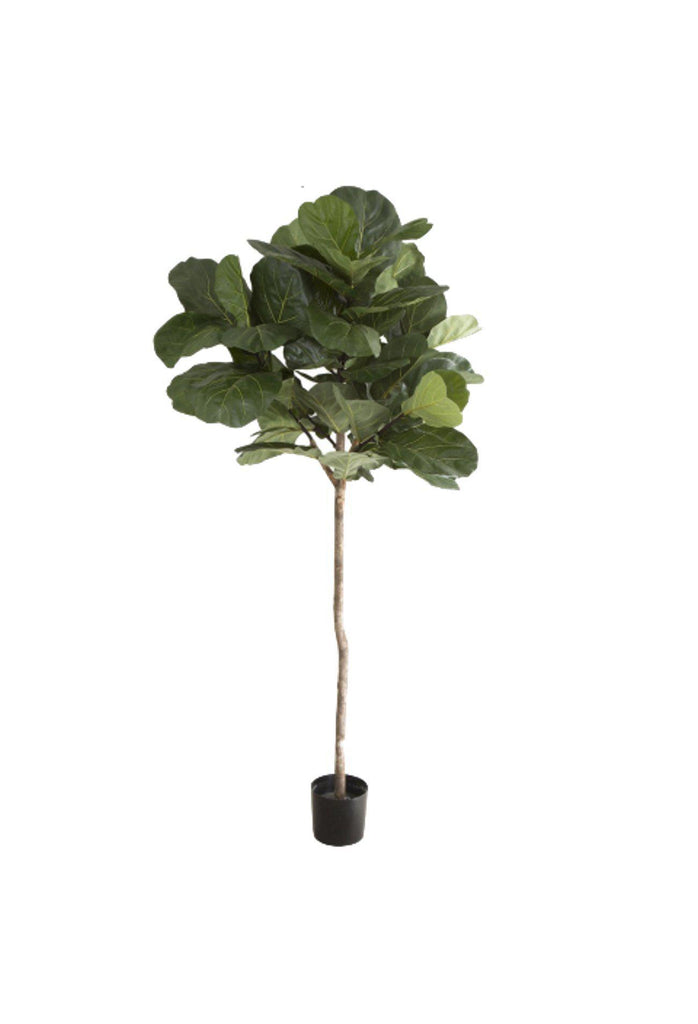 Fiddle Leaf Tree - 2m