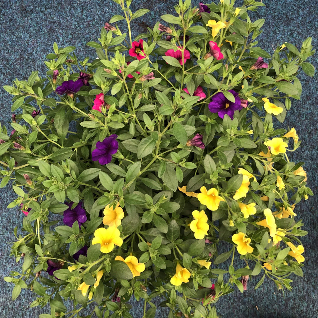 Trowell Garden Centre Garden Plants Bedding Bedding Plant Calibrachoa Trio (Million Bells) Pot