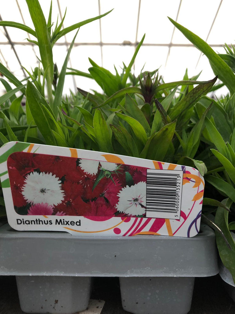 Trowell Garden Centre Garden Bedding Plants Strips Bedding Plant Dianthus Mixed Strip