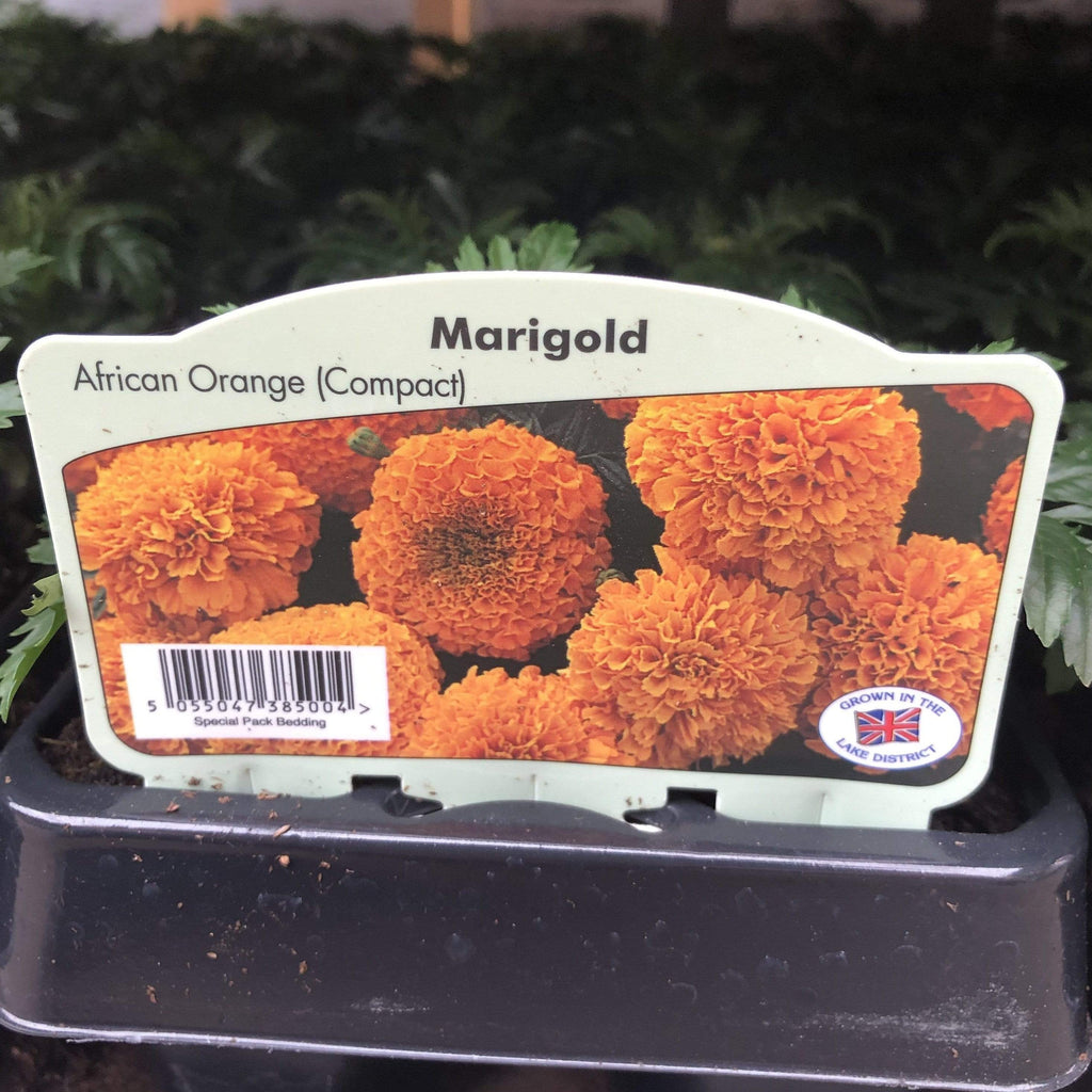 Trowell Garden Centre Bedding Plant Marigold African Single Colour Strip. Our Choice of Colours