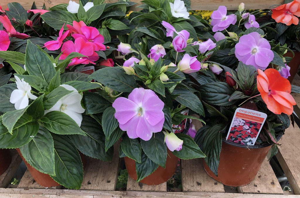 Trowell Garden Centre Garden Plants Bedding Bedding Plant New Guinea Impatiens Mixed (Busy Lizzie) Pot
