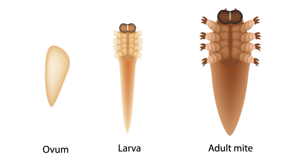 Demodex development