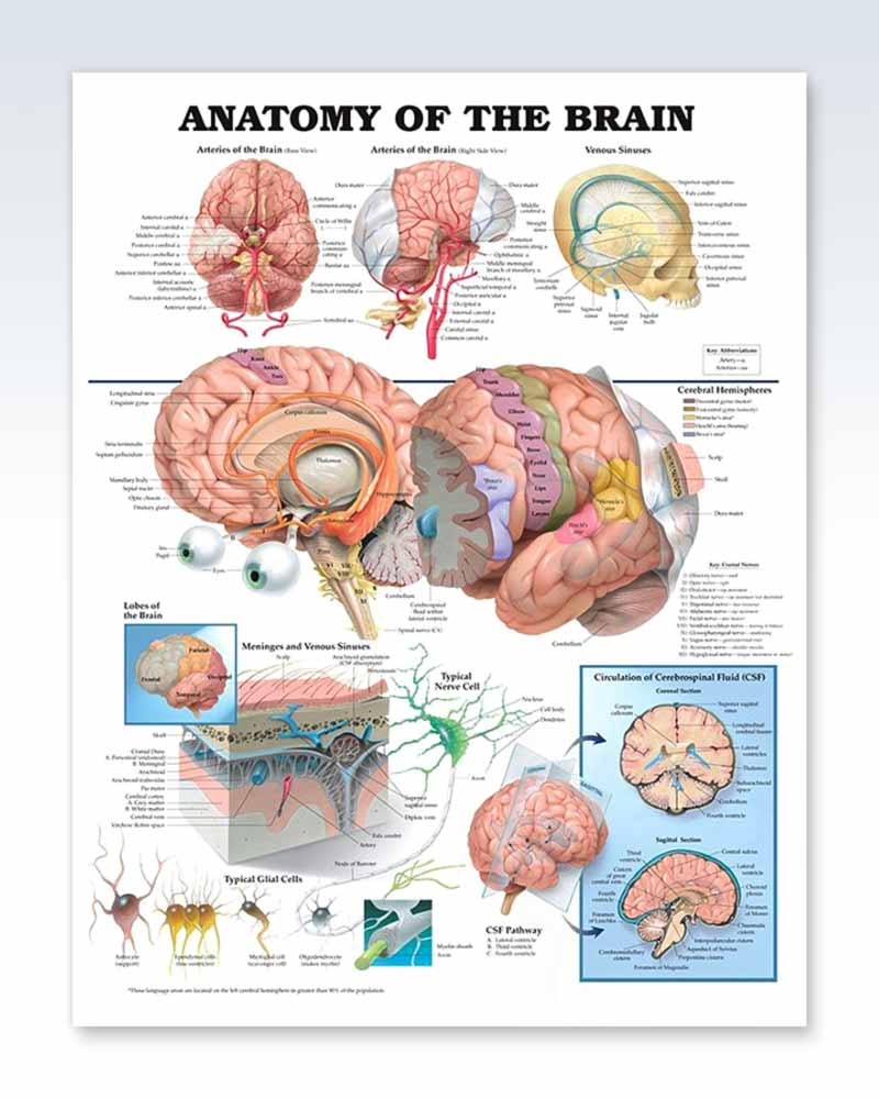 Anatomy Of The Brain Exam Room Poster Clinicalposters