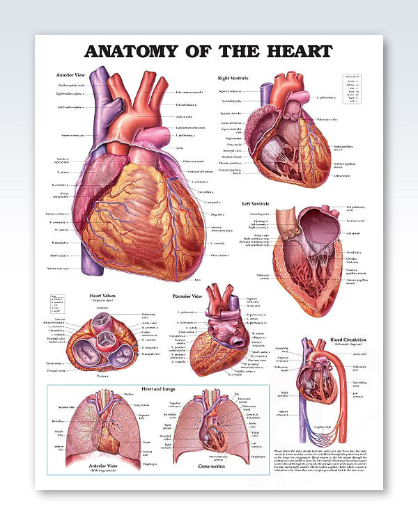 Anatomy Of The Heart Exam Room Poster Clinicalposters