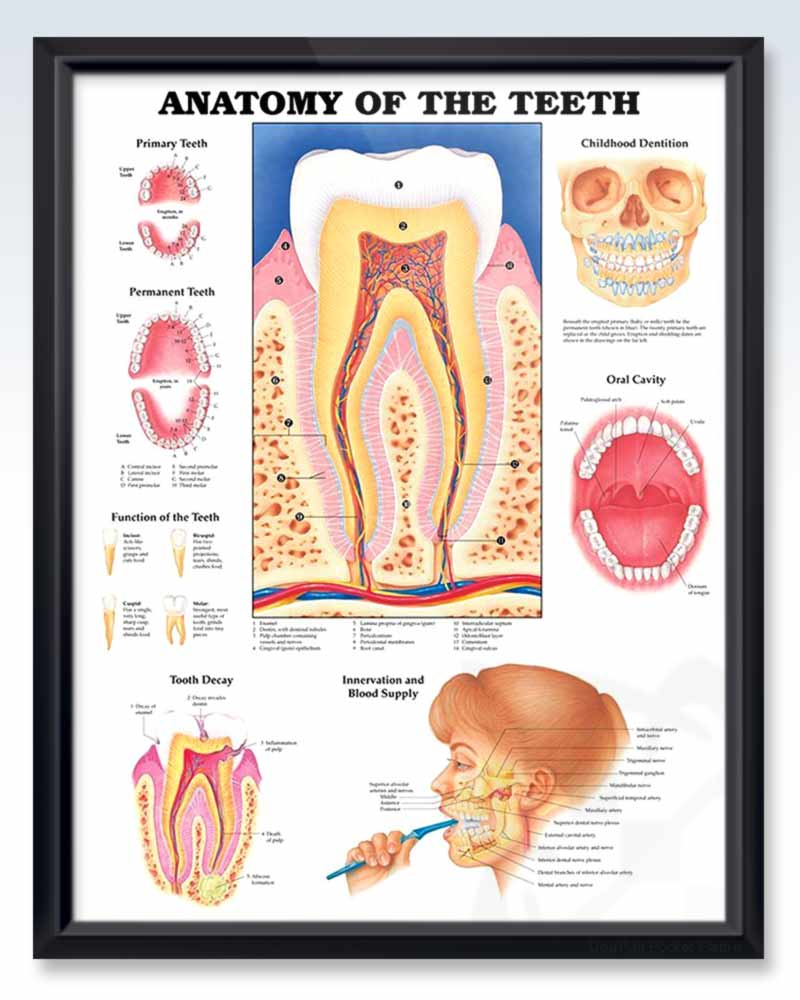 Anatomy Of The Teeth Exam Room Anatamy Poster Clinicalposters