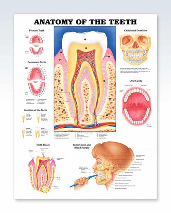 Anatomy of The Teeth anatomy poster