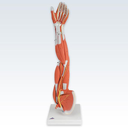 Arm 3/4 Size 6-Part Model