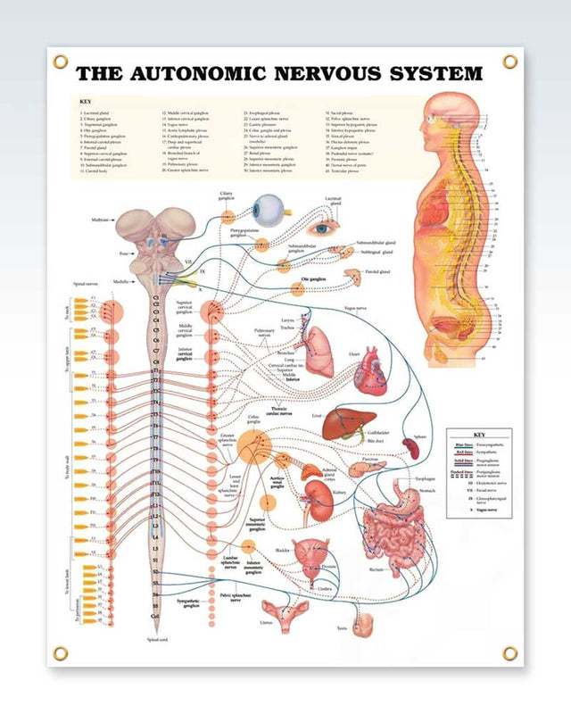 Autonomic Nervous System Exam Room Anatomy Poster – ClinicalPosters