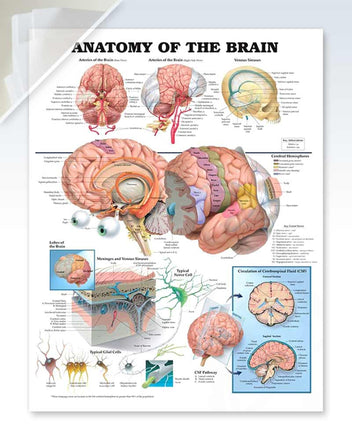 Anatomy of the Brain anatomy poster