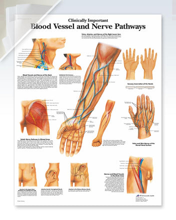 Blood Vessel and Nerve Pathways