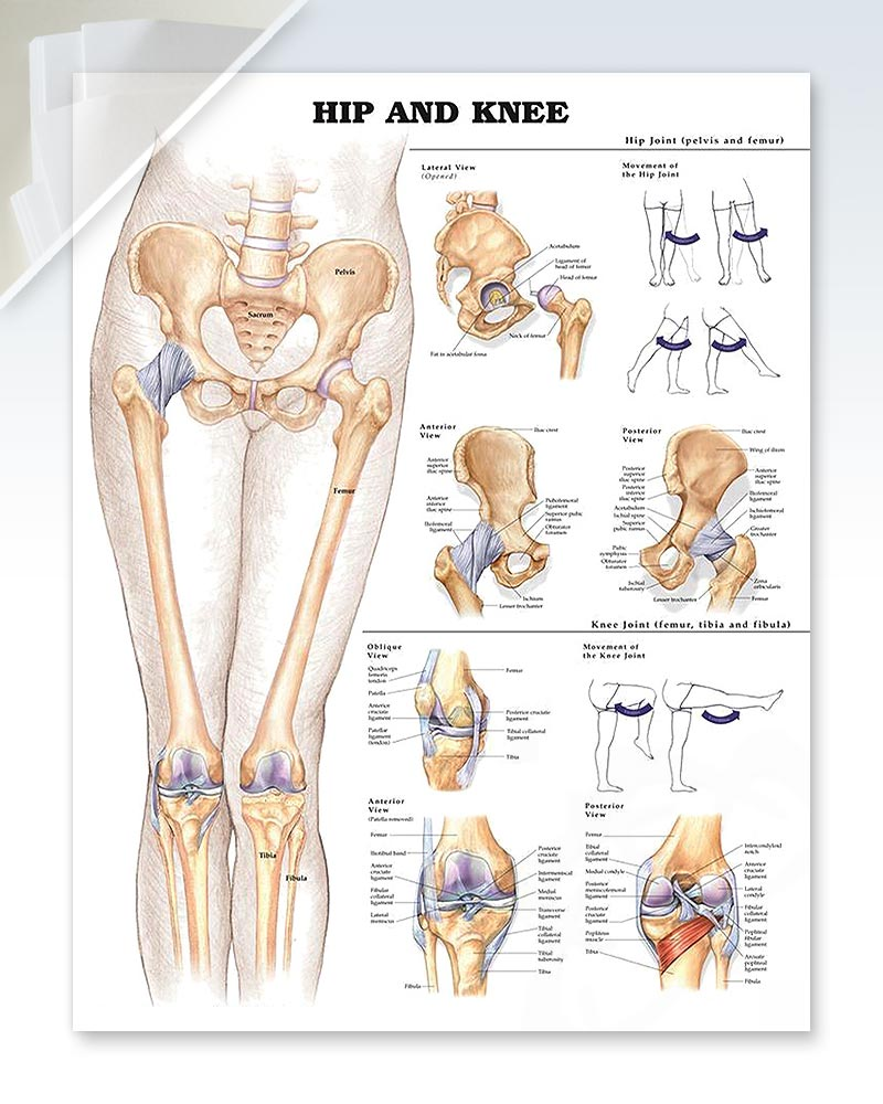 Hip and knee discount anatomy poster clinicalposters hip and knee anatomy poster ccuart Choice Image