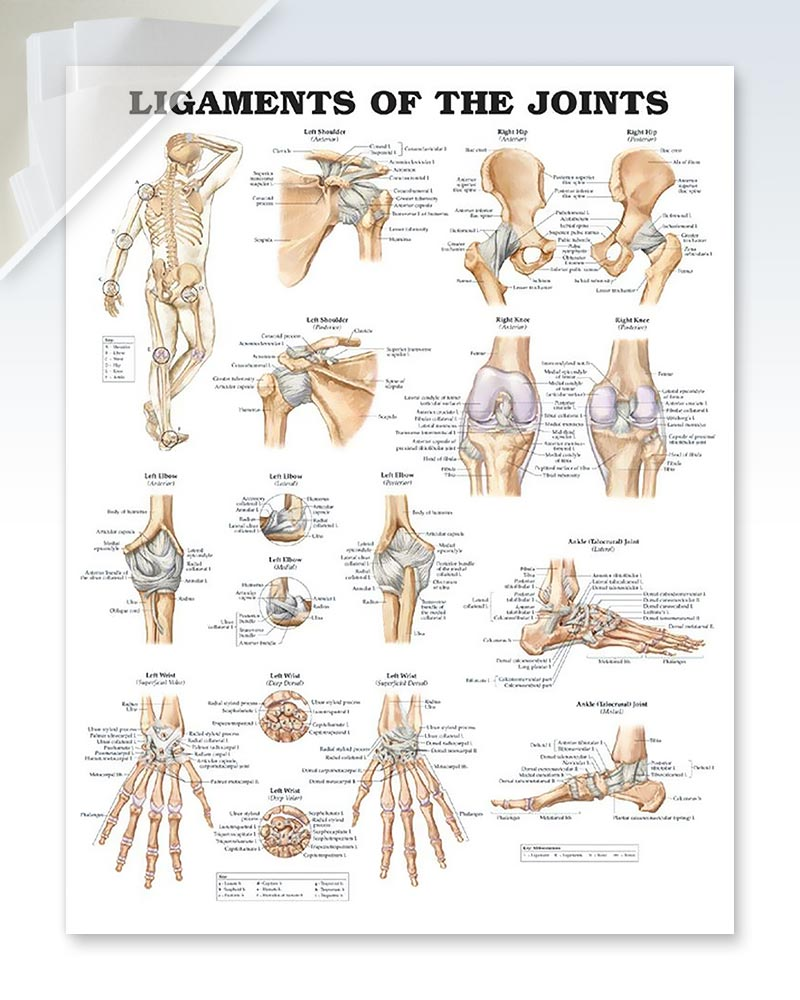 Ligaments of the Joints anatomy poster