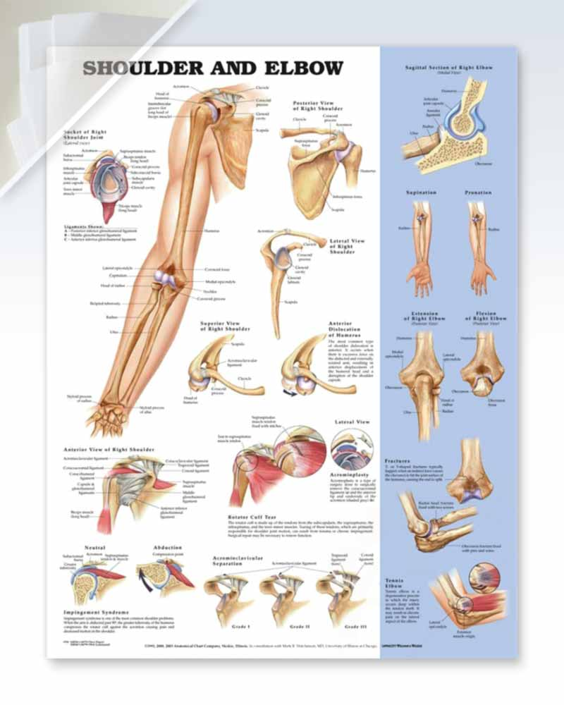 Shoulder and Elbow damaged anatomy poster