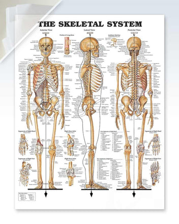 The Skeletal System damaged poster
