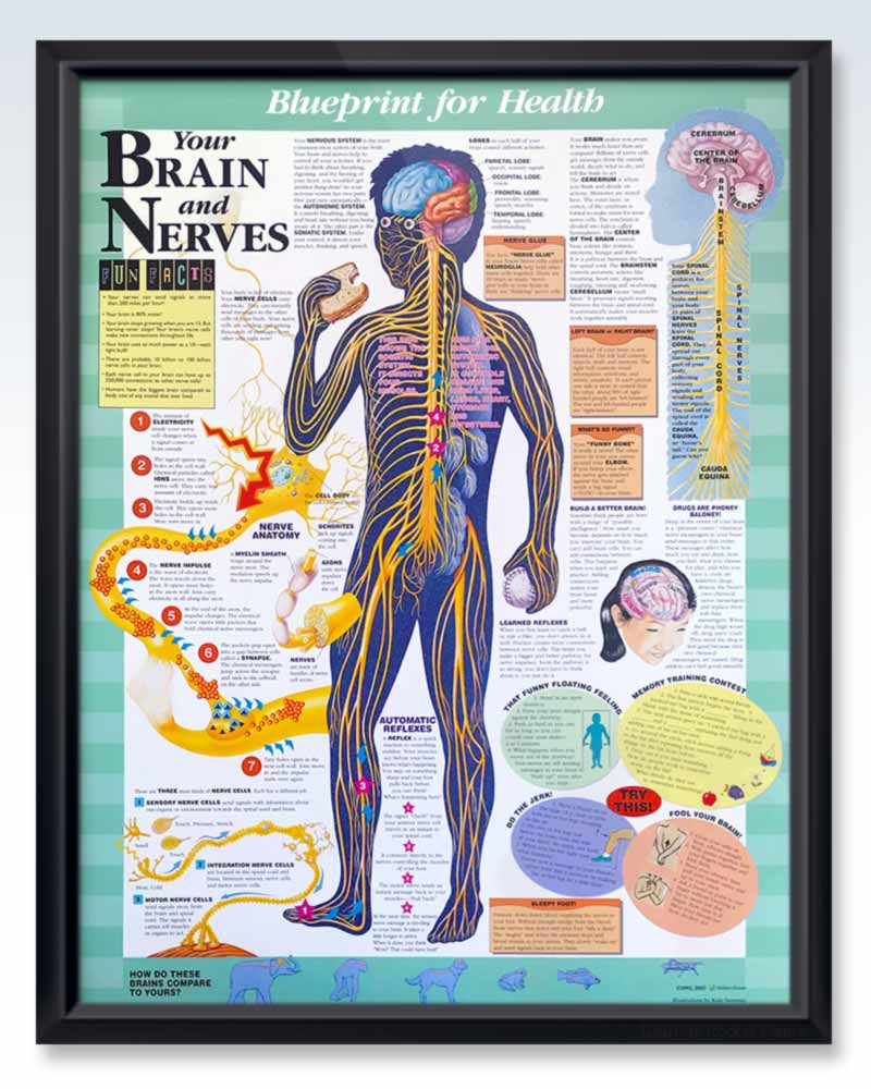 Pediatric Human Anatomy Posters – ClinicalPosters