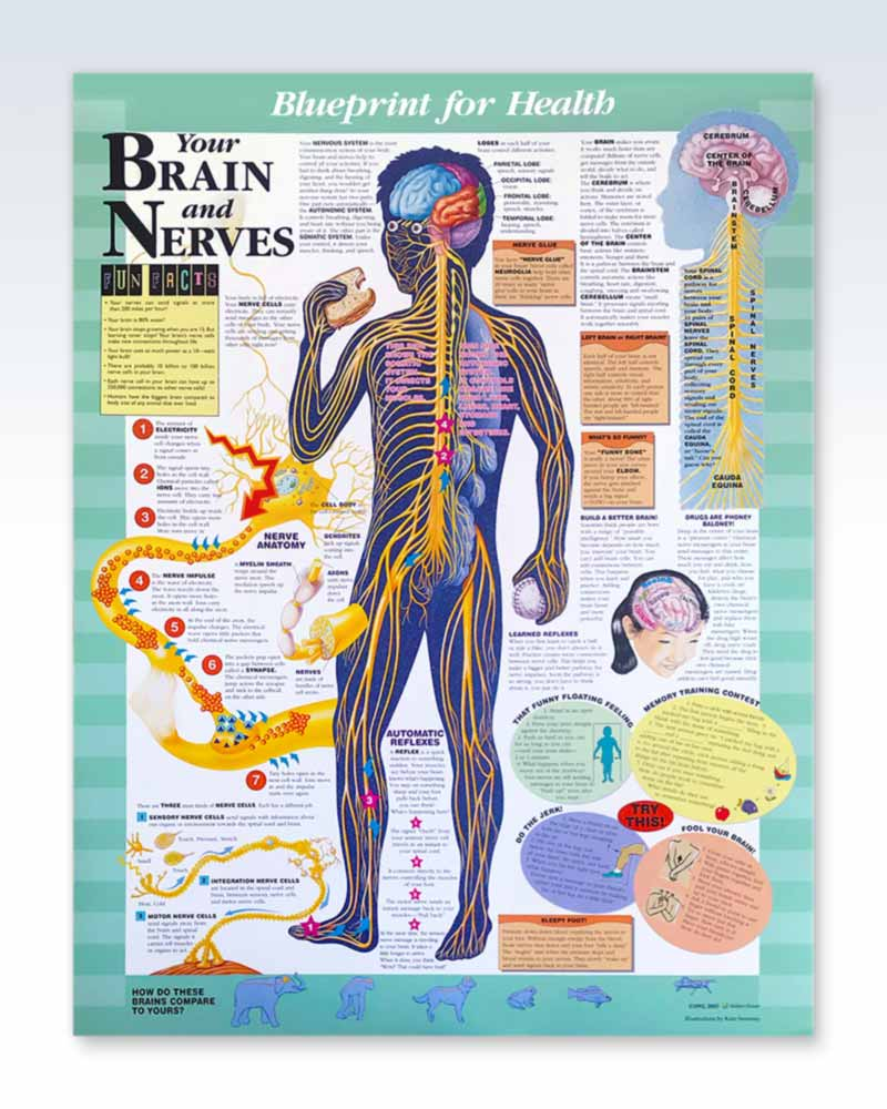 Your Brain and Nerves anatomy poster