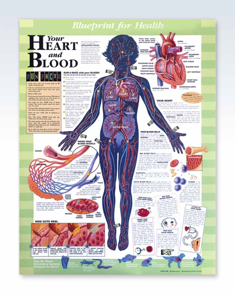 Your Heart And Blood Exam Room Anatomy Poster Clinicalposters