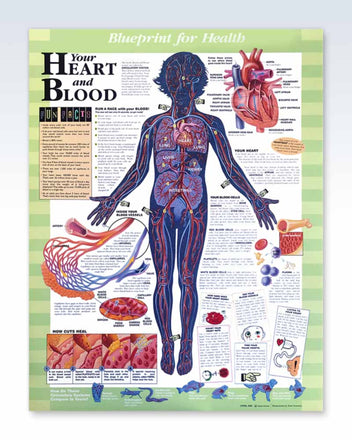 Your Heart and Blood Anatomy Poster